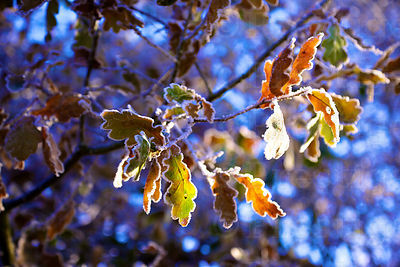 Frosty oak leaves still on the tree