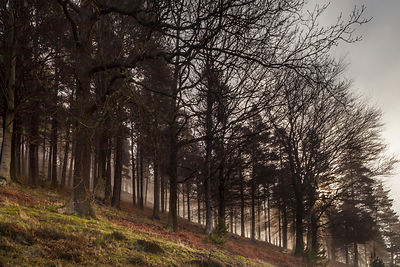 Derwent trees in mist