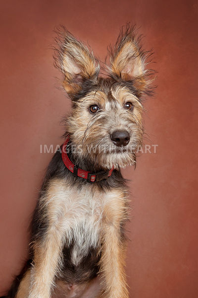 Studio close-up portrait of dog with furry ears looking at camera
