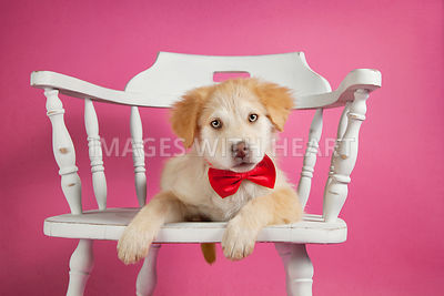 Puppy lying in white chair on pink background
