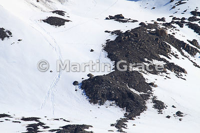 Snowy slope with several tracks and slides made by Polar Bears (Ursus maritimus), Hornsund, Spitsbergen, Svalbard
