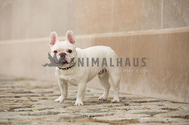 smiling frenchie in front of stone wall