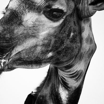 6345-In_the_eye_of_the_giraffe_Botswana_2009_Laurent_Baheux