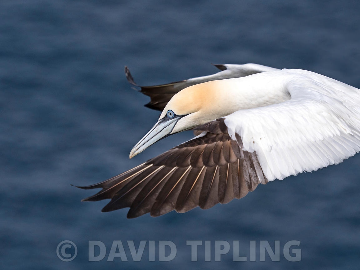 Northern Gannet Morus bassanus in flight at breeding colony on Hermaness, Unst, Shetland June