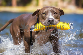 blue nosed pitbull retrieving in the water