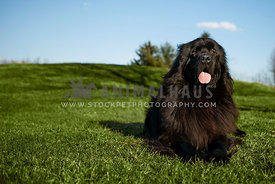 black Newfoundland outside on green grass with tongue out  and blue sky