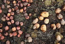 Potatoes on the ground freeze drying and turning into chuño , Bolivia