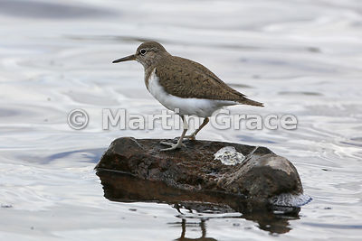 Common Sandpiper (Actitis hypoleucos) standing on a rock having just defaecated,  Lochindorb, Inverness-shire, Scotland: Imag...
