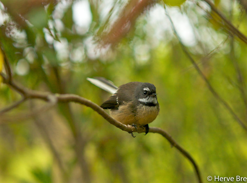 Fantail New-Zealand