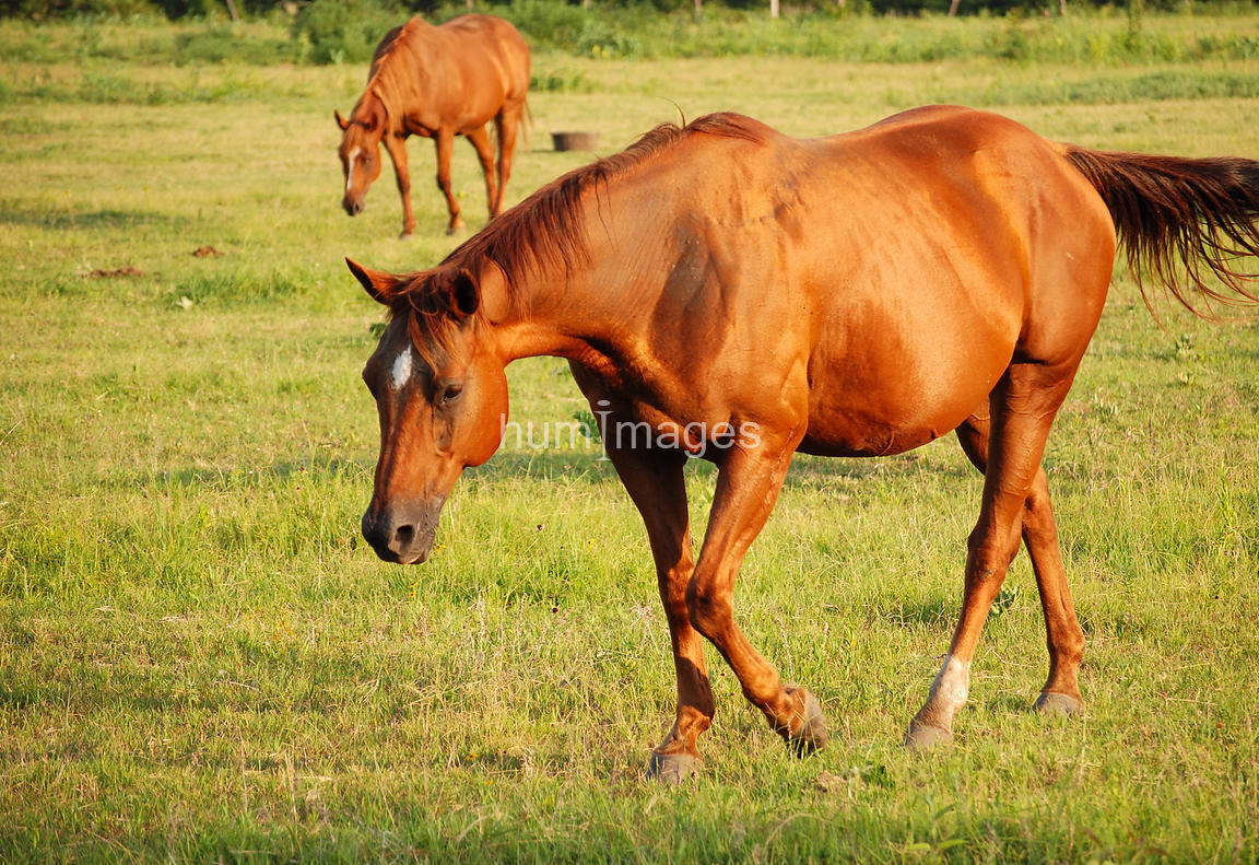 Chestnut mare in sunshine walking in a field facing left