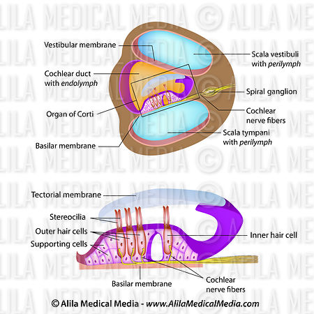 Anatomy of organ of Corti