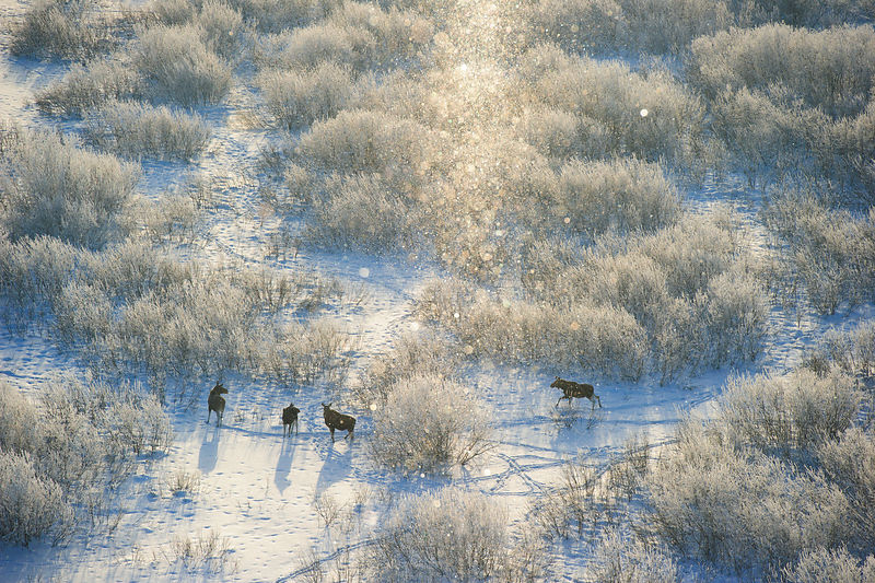 Moose (Alces alces) herd on a cold -18 C morning amongst frozen willow bushes, with snow, in Tartumaa, Estonia. January. High...