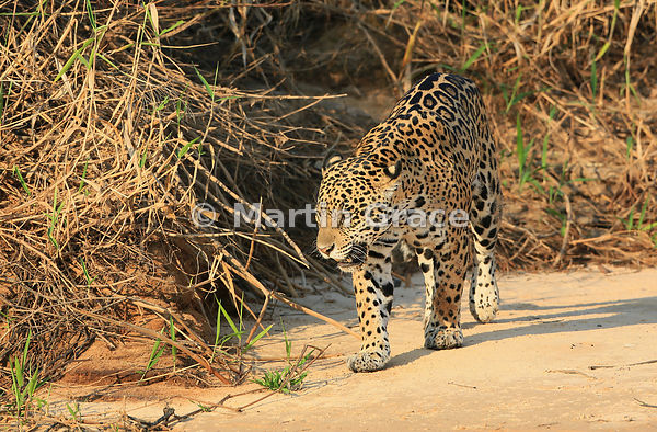 Female Jaguar 'Hunter' (Panthera onca), Three Brothers River, Northern Pantanal, Mato Grosso, Brazil. Image 36 of 62; elapsed...