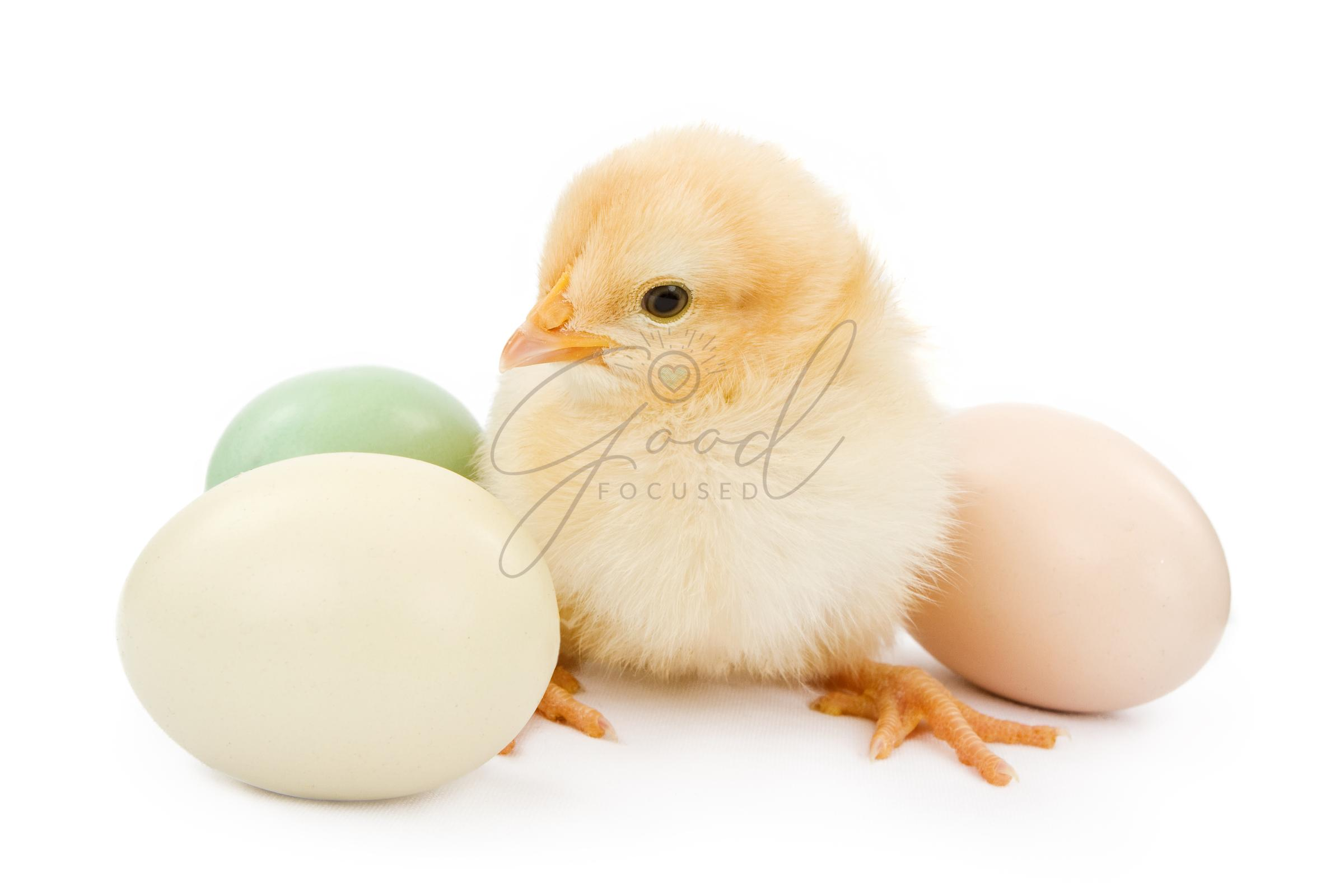 A baby chicken next to Easter eggs
