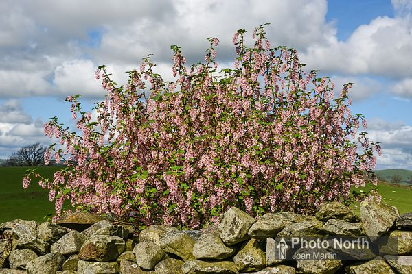 FLOWERING CURRANT 01A - Flowering currant