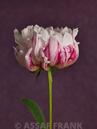 Peony flower, close-up