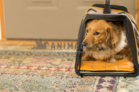 A long hairded dachshund in a pet carrier in front of the door