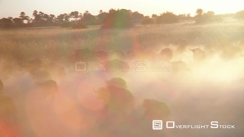 Aerial wide angle shot large herd of buffalo running across grassy plain at sunset sunrise kicking up dust Zimbabwe