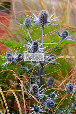 Eryngium x zabelii 'Jos Eijking', (chardon bleu), Steely blue flowering sea holly, Apiaceae, Vivace rustique, Port buissonnan...