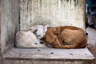 Sleeping dogs in Pushkar, Rajasthan, India