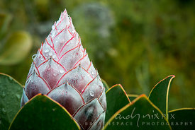 Close-up of closed sugarbush protea flower