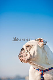 Profile of a bulldog with a blue sky background