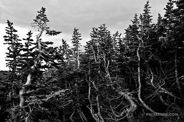KRUMMHOLZ FOREST CHASM LAKE TRAIL ROCKY MOUNTAIN NATIONAL PARK BLACK AND WHITE