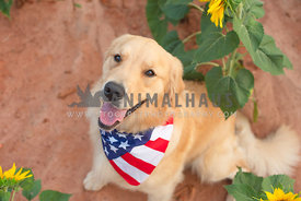 sitting golden retriever wearing American flag bandana looking up