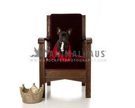 Black French Bulldog puppy sitting on burgany chair wearing red robe with crown on floor