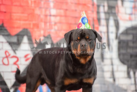 rottweiler wearing a birthday hat in front of painted wall