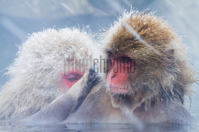 Japanese Macaques (Macaca fuscata) Grooming in Hot Spring