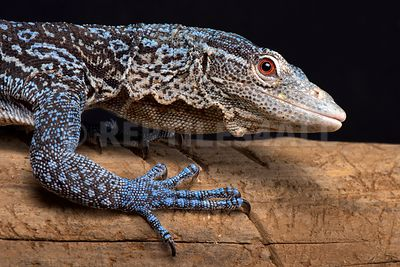 Blue tree monitor / Varanus macraei