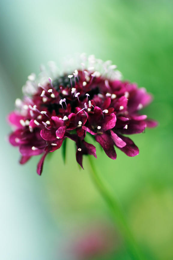SCABIOUS Flower