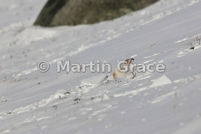 Mountain Hare (Arctic Hare) (Lepus timidus) dozing in the form it has excavated for itself in a snow slope, February 13, Stra...