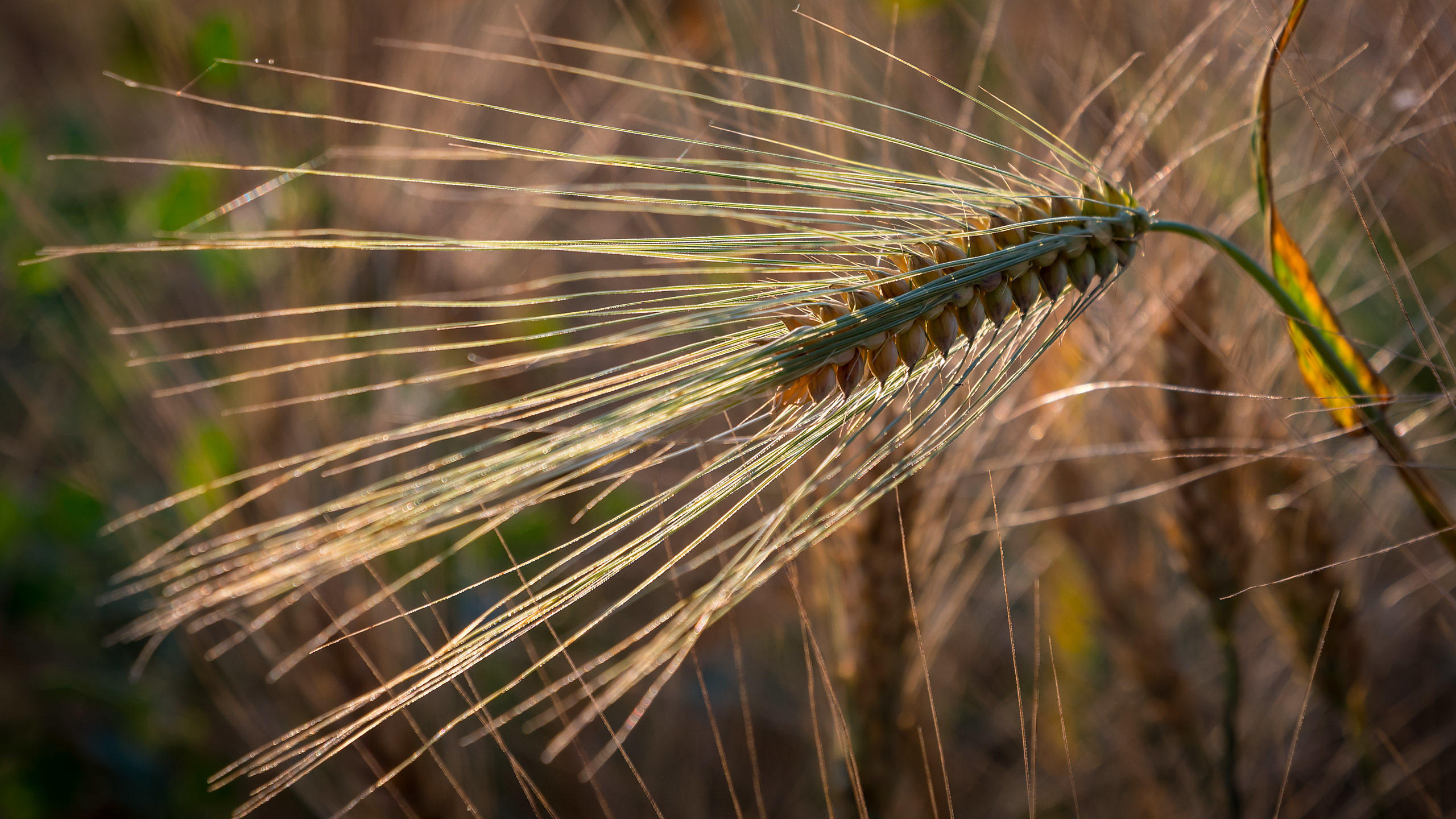 Wheat Close-up in Golden Sunset