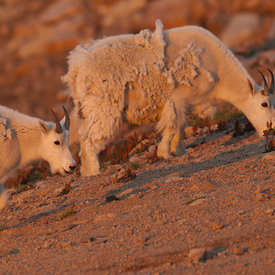 Mountain Goat wildlife photos