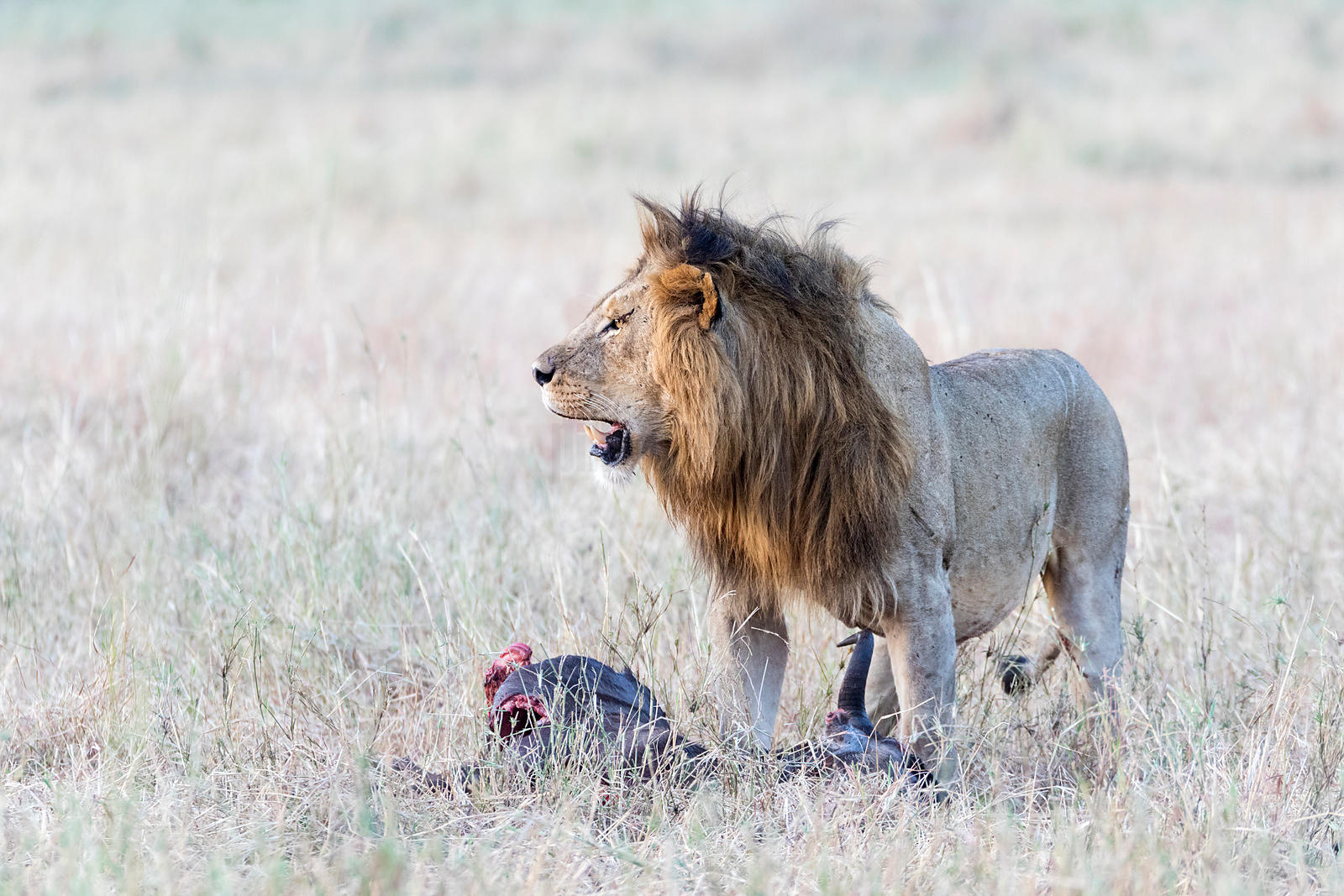 Portrait of a Male Lion at a Wildebeest Carcass