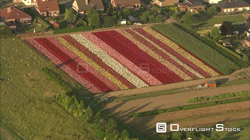 Flying over commercial plantings of azaleas in bloom near Ghent, Belgium