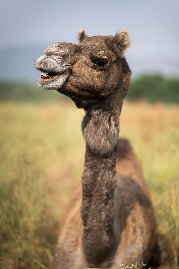 Portrait of a camel at the Pushkar Camel Fair, Pushkar, Rajasthan, India