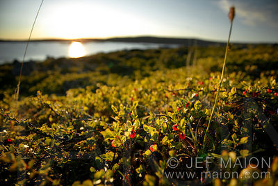 Tundra, berries and sun