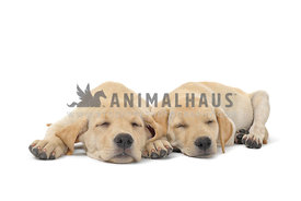 Two yellow lab puppies sleeping on white background