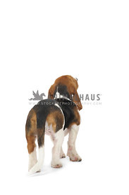 beagle looking away on white background