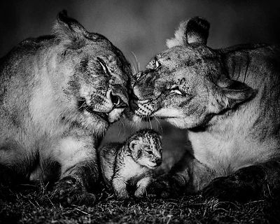 3946-Lion_The_small_one_Kenya_2013_Laurent_Baheux