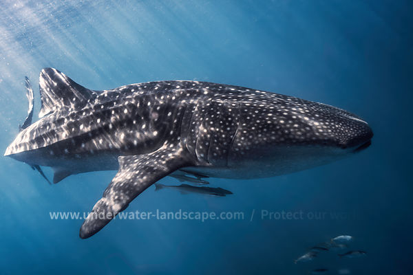 Photo Requin baleine et remoras-Nosy Be Madagascar