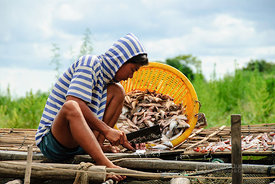 Fisherman Cutting Fish