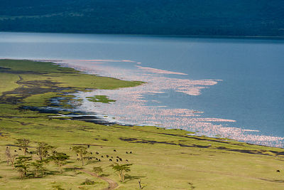 Aerial view of Lesser flamingos (Phoeniconaias minor) on Lake Nakuru, Kenya.
