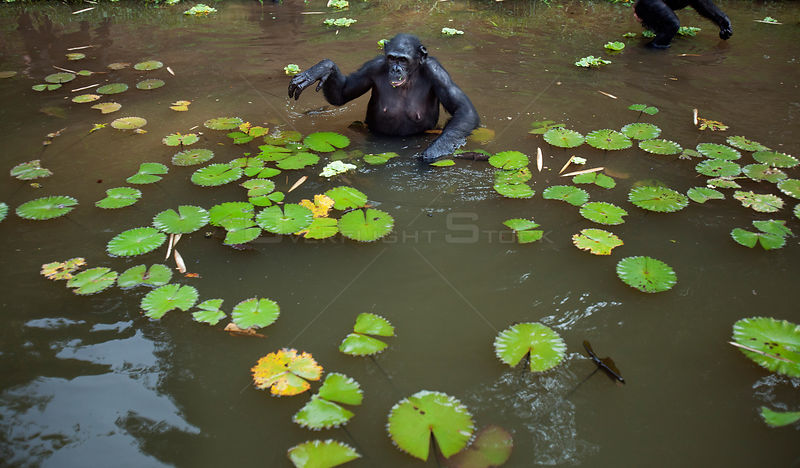 Bonobo (Pan paniscus) foraging in a lake amongst water lilies, Lola Ya Bonobo Sanctuary, Democratic Republic of Congo. October.