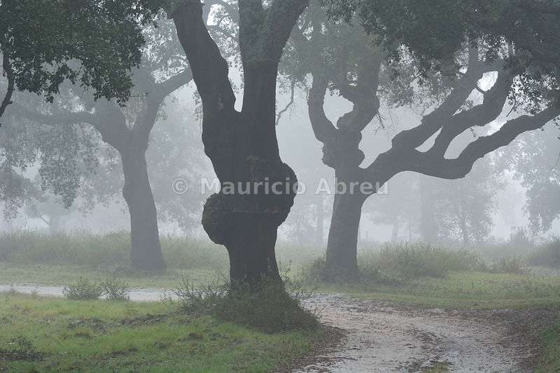 Cork trees in a misty morning. A forest in the Sado Estuary Nature Reserve. Portugal