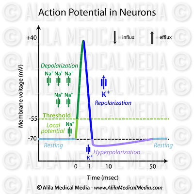 Action potential in neurons