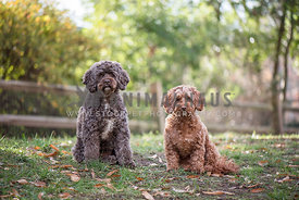 2 cockapoo sisters sitting next to each other in yard backlighting